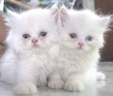 2 Lovely Persian Kittens