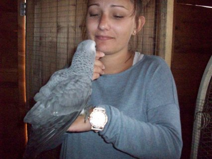 Baby African Grey For Sale