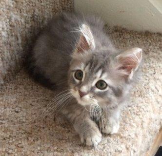 Baby Allergy Siberian Kittens For Rehomin