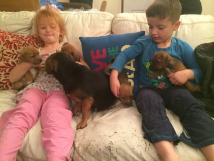 Dachshund X Jack Russell For sale