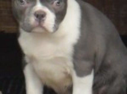 Blue/champagne Boston Terrier Puppies For Sale