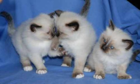 Male and female Birman kittens ready for good rehoming