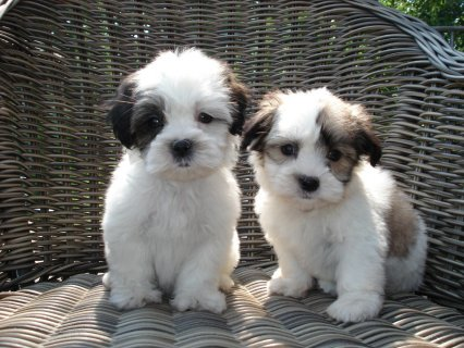 صور Tiny, cute, registered female shih tzu  Puppy for adoption. 1