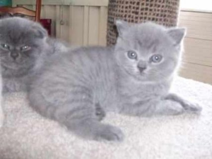 صور Beautiful Pure breed male and female British Shorthair kittens f 1