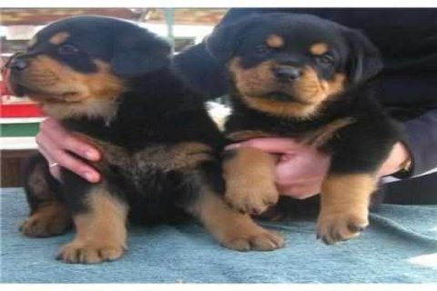 Male and female well trained rottweiler puppies available
