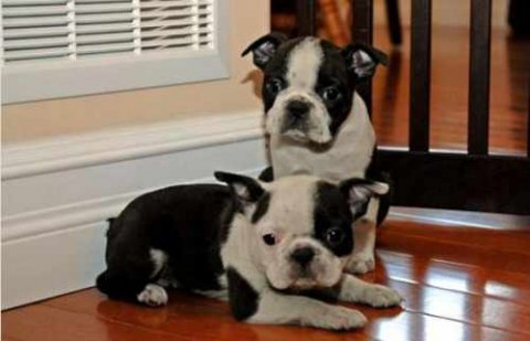 صور These BOSTON TERRIER PUPPIES are absolutely beautiful 1