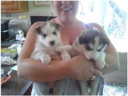 Adorable siberian Husky Puppies.. Huge Reluctant Sale