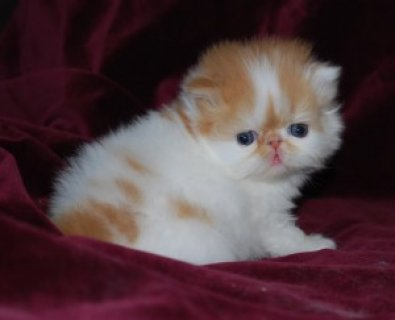 Toy Persian kittens ready for  family additions