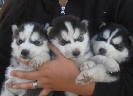 Good Looking Siberian Husky Puppies For Sale