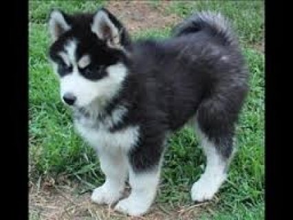 صور Christmas gift Siberian Husky Puppies for adoption  1