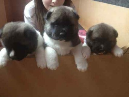 LOVELY AKITA PUPPIES READY TO GO