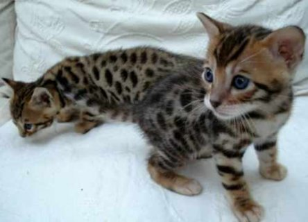 Outstanding Bengal kittens for adoption