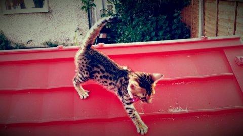 noble Bengal kitten for re homing