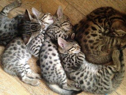Savanna Kittens for adoption