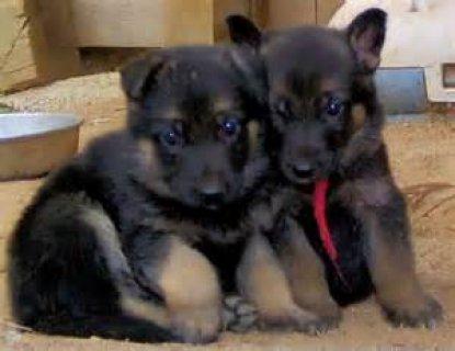 Exclusive German Shepherd puppies