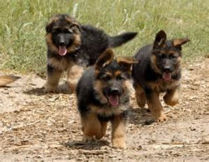German shepherd puppies availabe for x mas