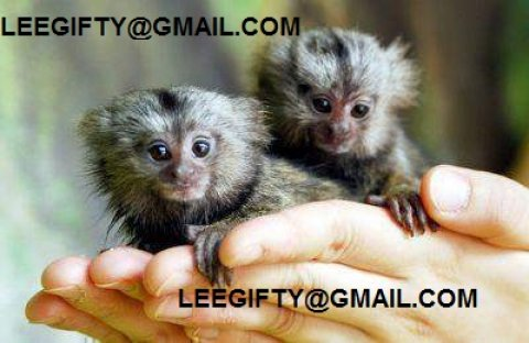 صور Finger Baby marmoset monkeys for adoption 1