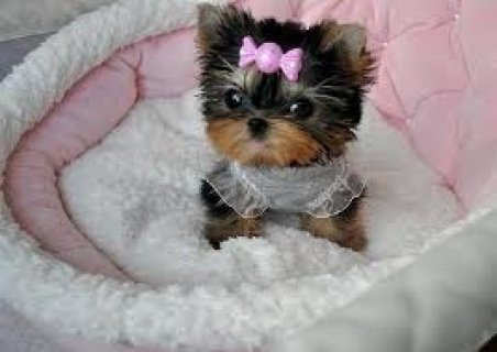 Beautiful Teacup Yorkie Puppies