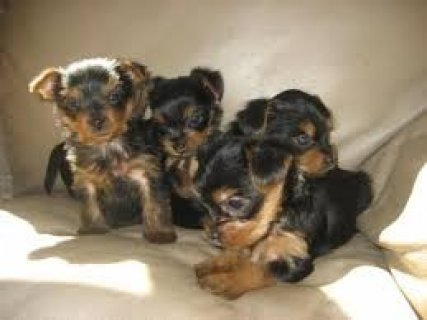 Top Quality Male and Female Yorkshire Terrier Pups For Xmas