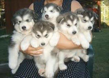 Cute Alaskan Malamute Puppies Available For Xmas