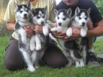 Huskiesr Available For Xmas