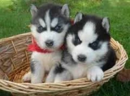 adorable siberian usky puppies