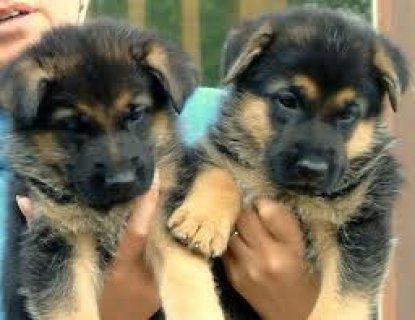 AKC registered German shepherd for free adoption.