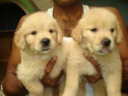 Pretty cute and lovely Golden retriever  puppies