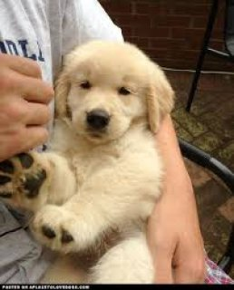 cute and need Olden retriever puppies