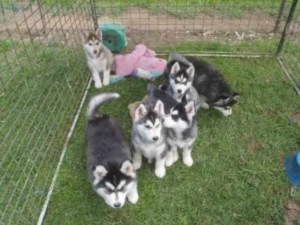 Well bred Pedigree Blue Eyes Siberian husky pups