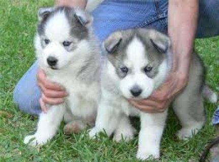Pretty Cute  and beautifu lsiberian husky puppies
