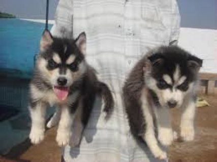 AKC Registered siberian husky puppies