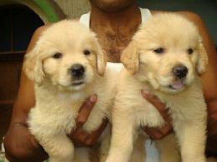 2 Weeks old Golden retriever puppies