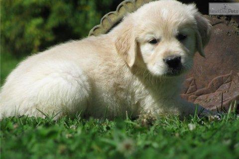 Well Train Golden retriever puppies