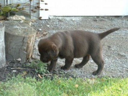 Male Chocolate Labrador
