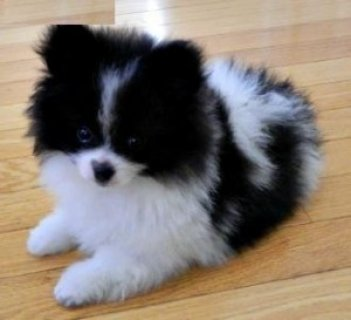 Micro tinny teacup Pomeranian puppies for you now contact asap.
