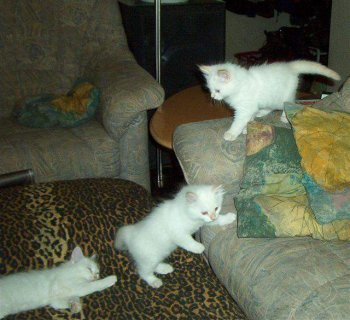 White And Grey Siberian Kittens Available For X_Mas1s