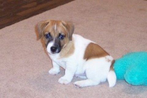 Jack Russell Puppies Available For Xmas