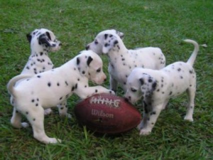 home raised dalmatian puppies now ready for a new home