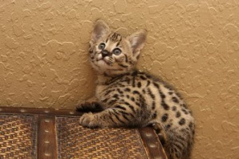 Extremely spotted savannah kittens available>>>