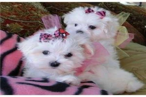 Beautiful Teacup Maltese Puppies