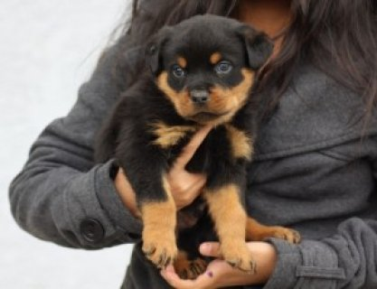 صور cute AKC Registered Rottweiler Puppy for XMas - 12 Weeks Old 1
