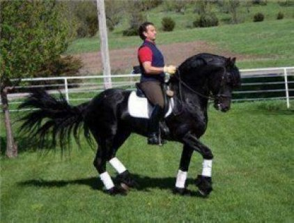 Gorgeous Friesian horse for Sale