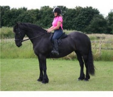 Friesian star graded gelding for sale