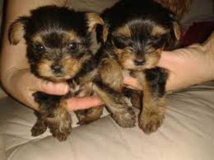 صور X Mas yorkie puppies for adoption 1