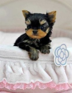 صور Yorkie Puppies for Available For Sale Now9 1
