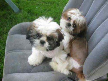 صور Pure &Pretty shih-tzu puppies 1