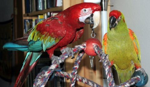 Rehoming  1 green wing macaw