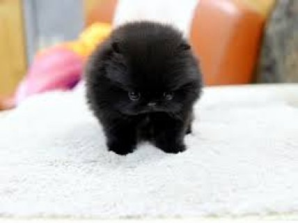 Adorable Cute & Tiny Pomeranian Puppies