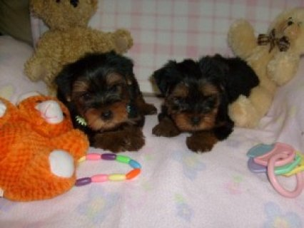 صور Lovely Akc Teacup Yorkie Puppies Ready For Christmas 1